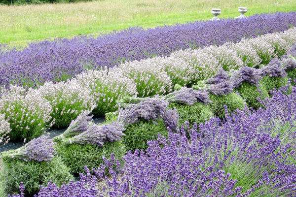 English lavenders & Harvest